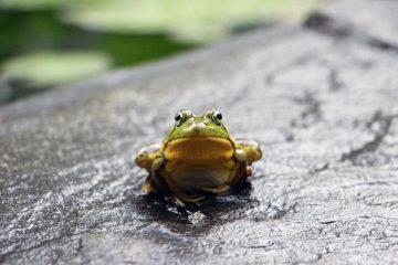 Une grenouille verte est assise sur une pierre grise