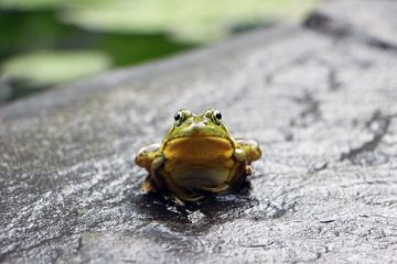a green frog sits on a grey stone