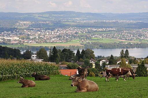 Umzug nach Uster: Blick auf den Greifensee mit Uster im Hintergrund. Man sieht ausserdem im Vordergrund eine grüne Wiese mit kauenden und liegenden Kühen drauf.